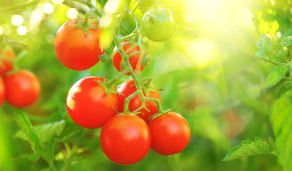 Growing Cherry Tomatoes