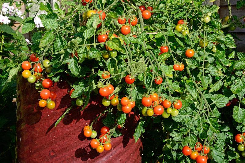 Losetto cherry tomatoes in a pot