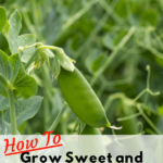 HOW TO GROW SWEETT & PLENTIFUL SUGAR SNAP PEAS - Pin Image