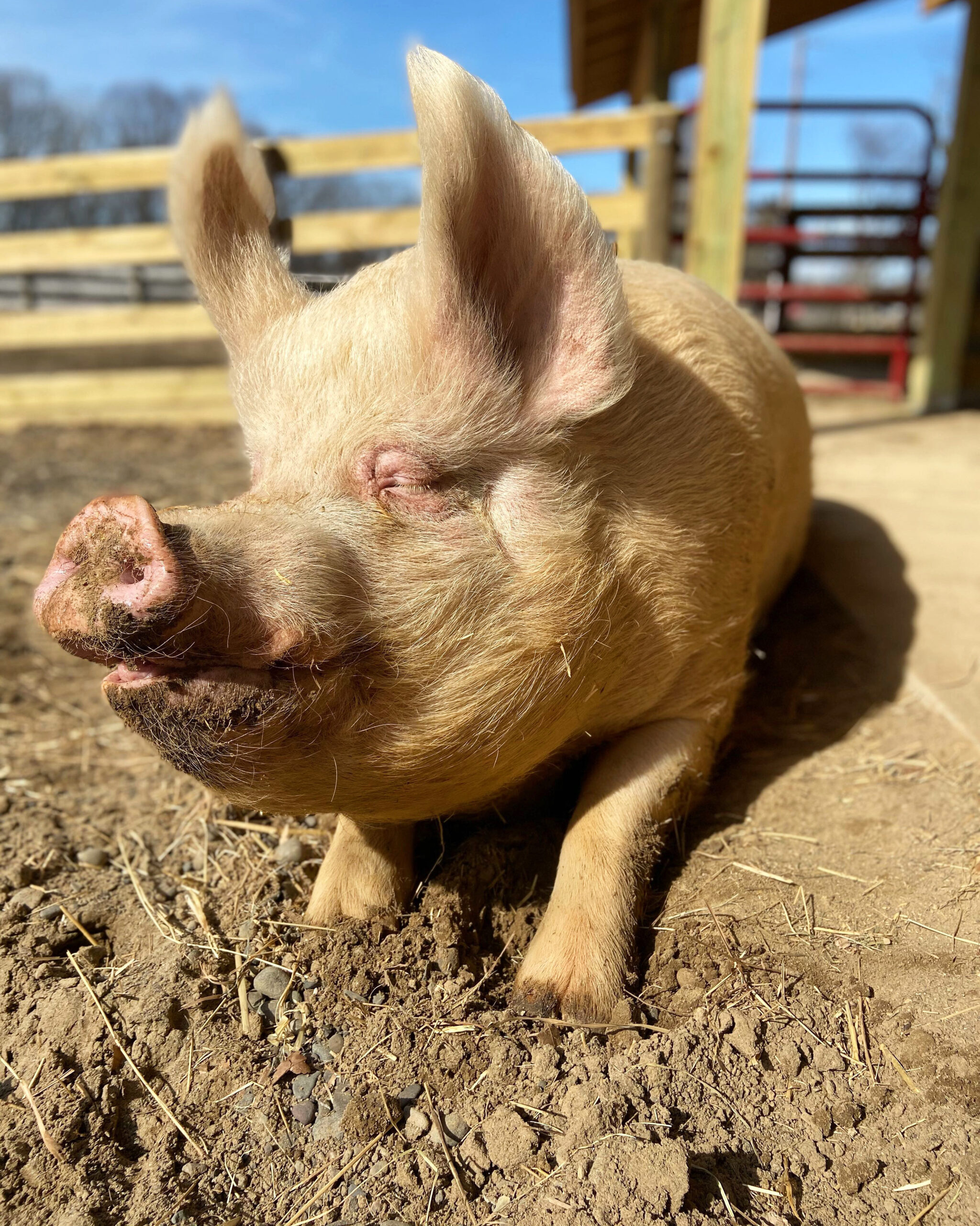 happy pig at Woodstock Farm Sanctuary