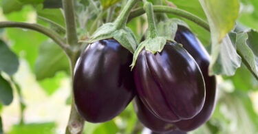 Ripe Purple Eggplants Growing In The Vegetable Garden