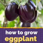 Growing Eggplant in Containers