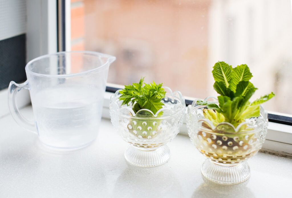 Regrowing vegetables and greens. Growing celery and lettuce on a windowsill at home.
