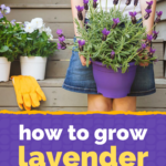 How to grow lavender in pots