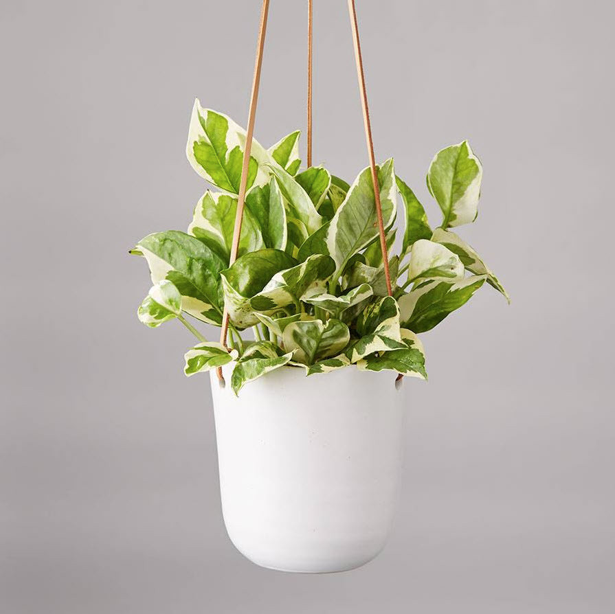 Pothos plant in a white hanging pot