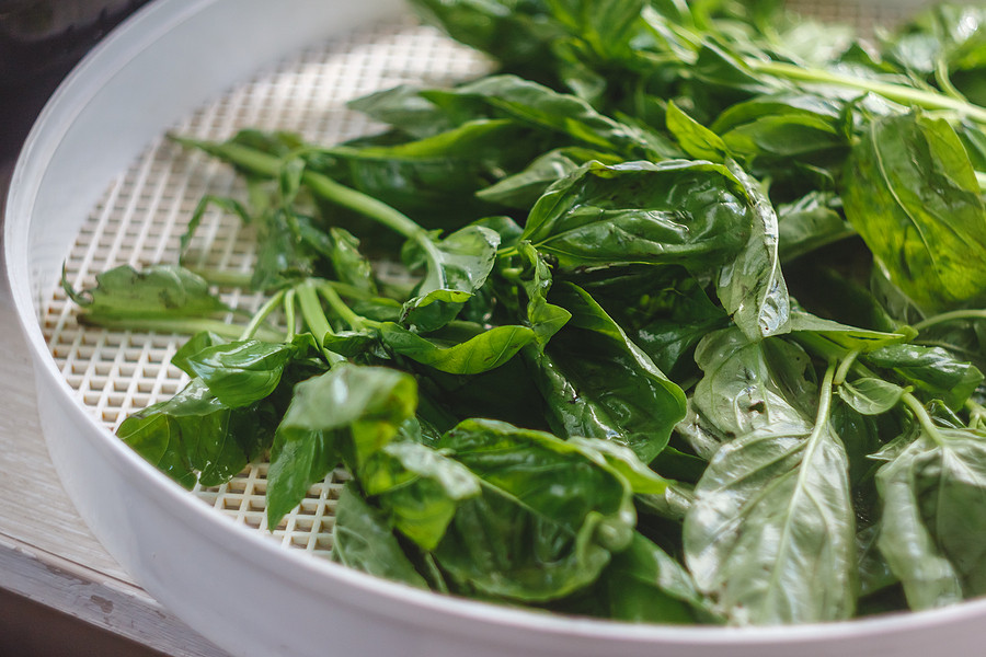 Drying basil leaves in a dehydrator