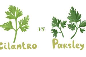 Cilantro vs. Parsley