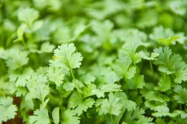 How to Freeze Cilantro to Use Later