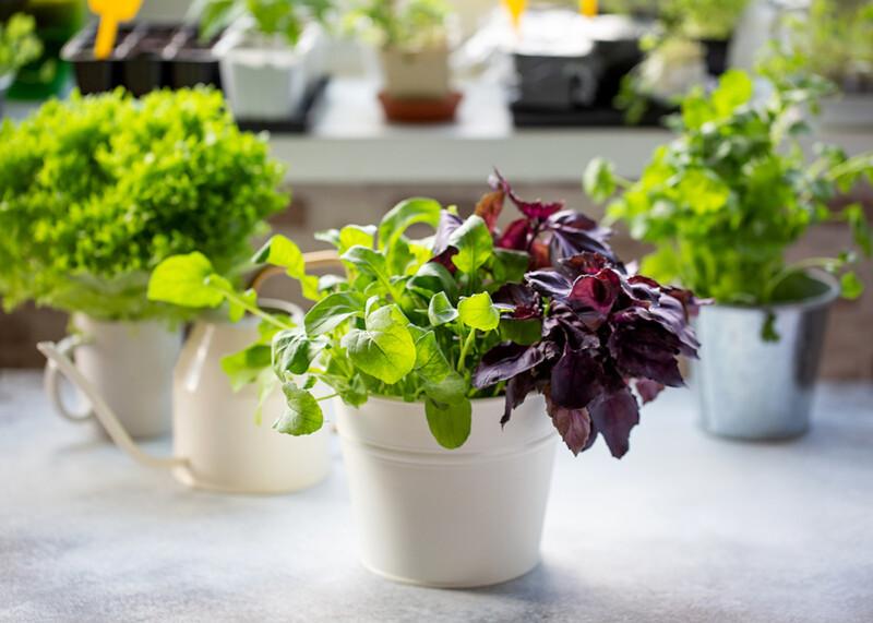 Fresh herbs growing indoors on a windowsill