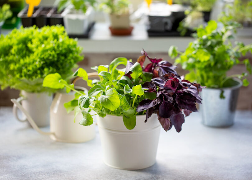 Fresh herbs growing indoors on a windowsill