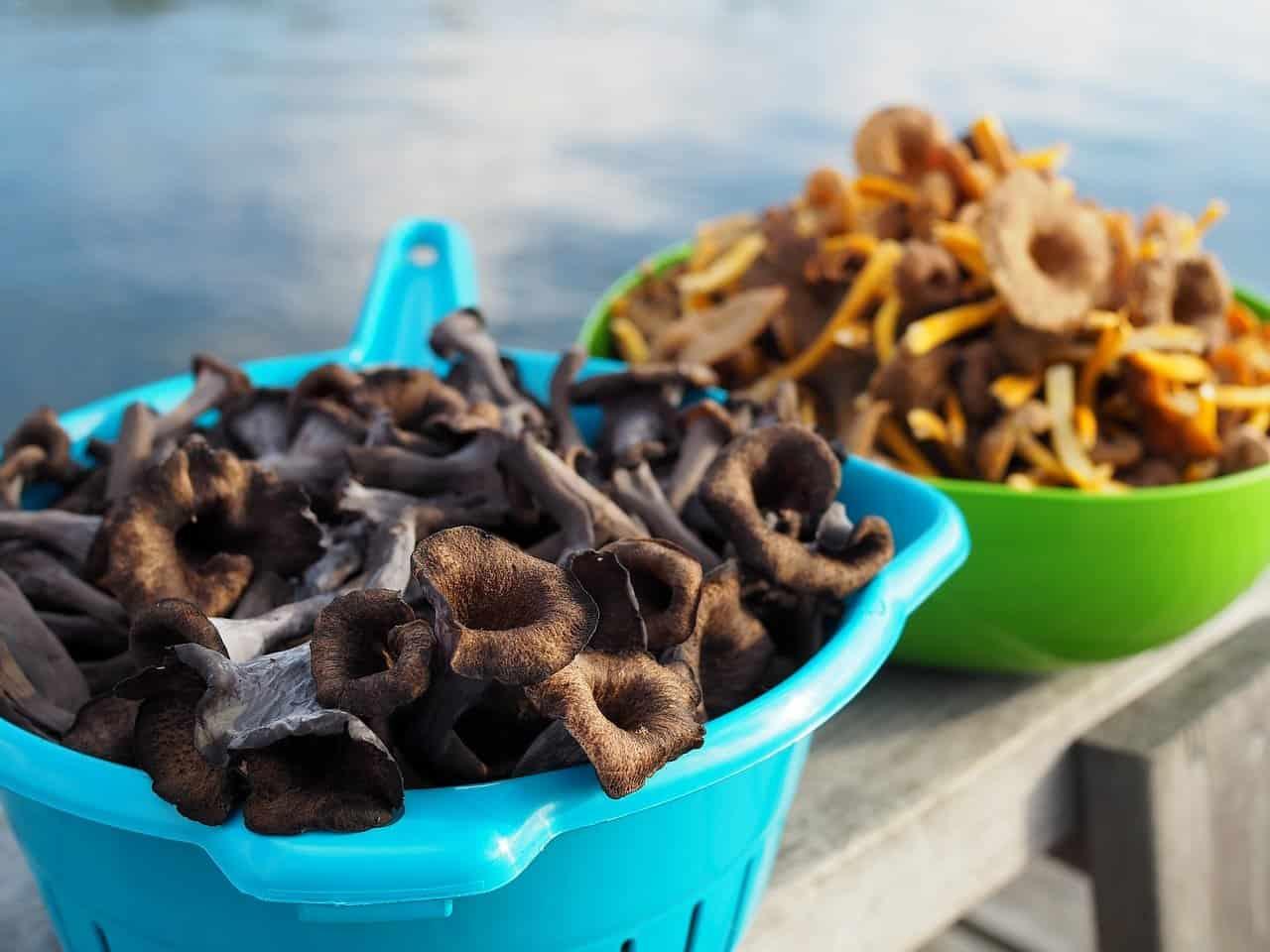 Black Trumpet Mushrooms (craterullus cornocopioides)