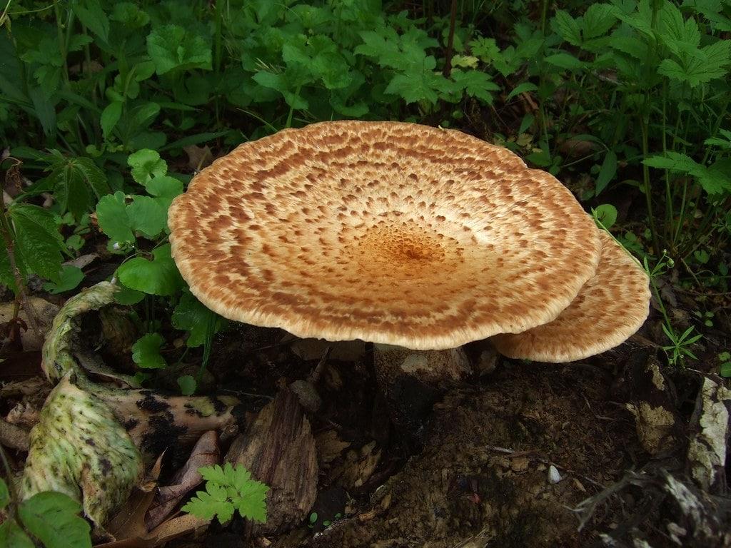Dryad's Saddle Mushrooms (cerioporus squamosus)