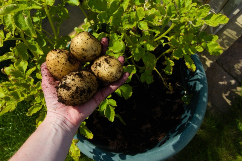 Picking Estima potatoes grown in a pot