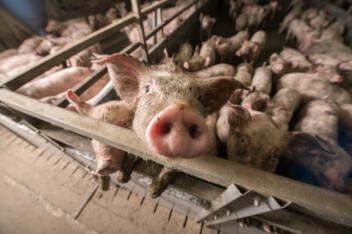 Farm Air Pollution Causes 17,900 Deaths Every Year