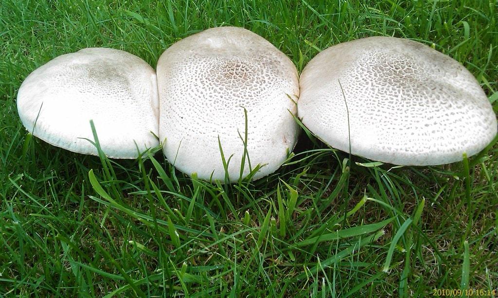 Three field mushrooms growing in grass