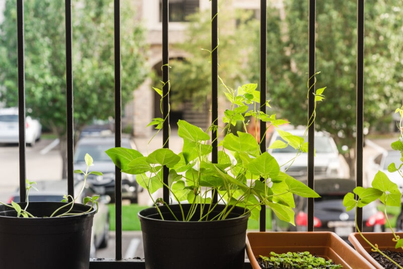 Growing Beans in Pots on a Balcony
