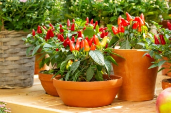 growing jalapeno peppers in clay pots