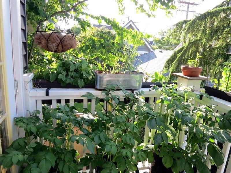 Growing potatoes on a balcony