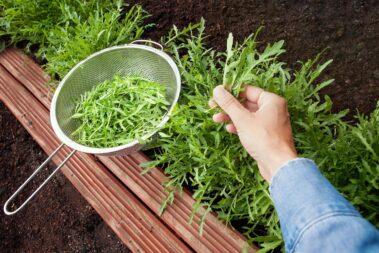 How to Harvest Arugula So It Keeps Growing