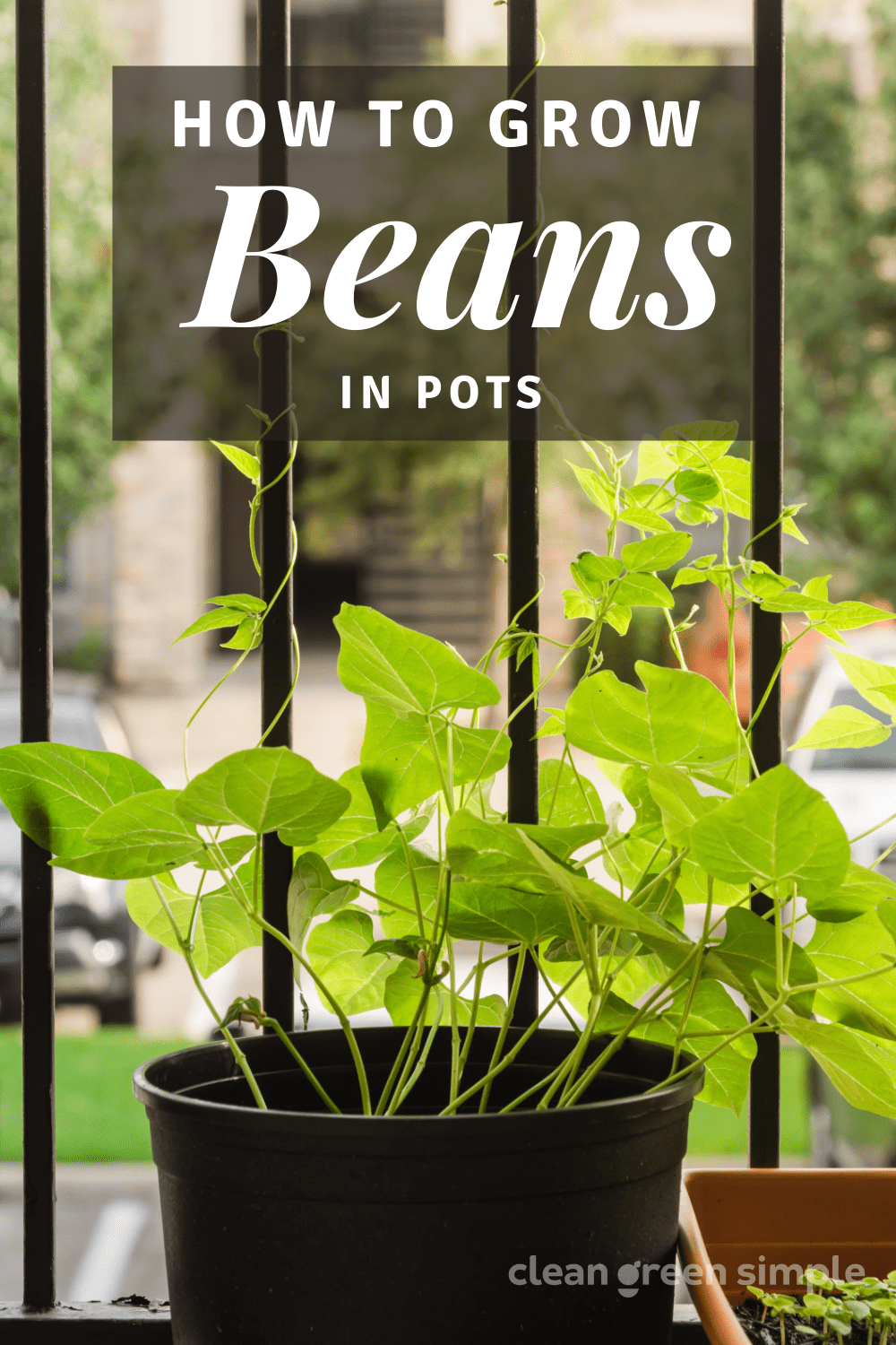 How to Grow Beans in Pots