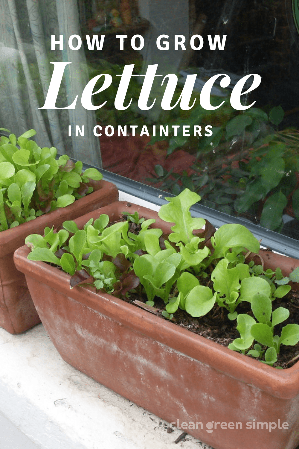 How to Grow Lettuce in Pots
