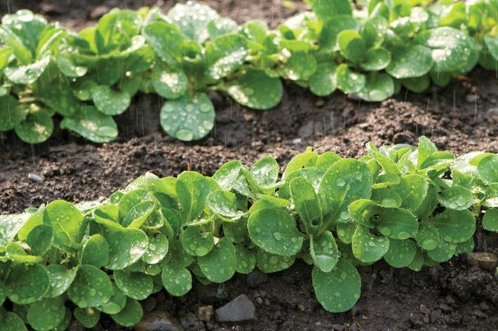 "Lamb's Lettuce, also known as Vit, Mâche, or ""corn salad"""