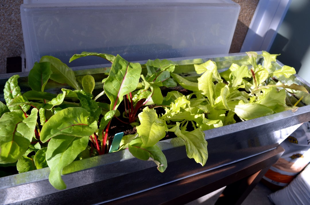 lettuce growing in a galvanized metal container