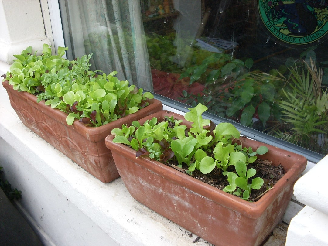 lettuce growing in containers on a window ledge