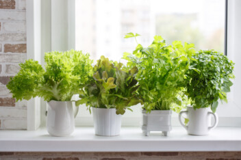 lettuce and herbs growing in pots on a windowsill