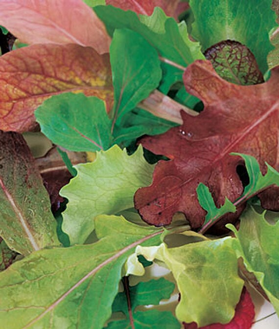 multi-colored Mesclun leaves