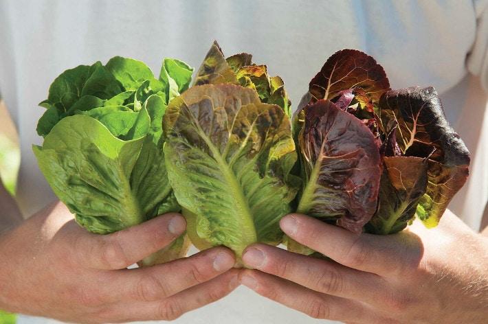 Trio of Mini Romaine Lettuce Varieties