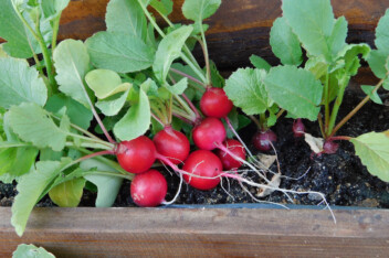 Radishes growing in a container