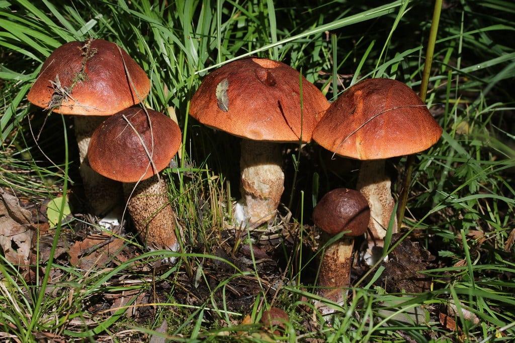 Red-capped Scaber Stalk - Leccinum aurantiacum