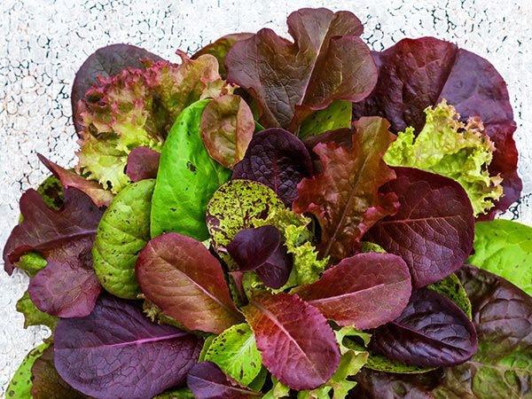 multi-colored leaf lettuce