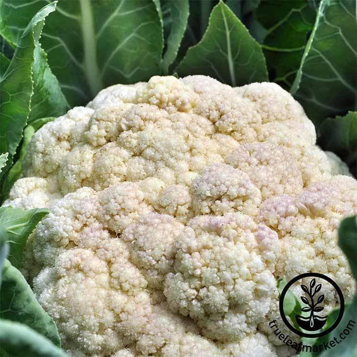 Self-Blanching Cauliflower