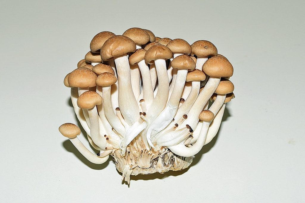 Buma Shimeji Mushrooms