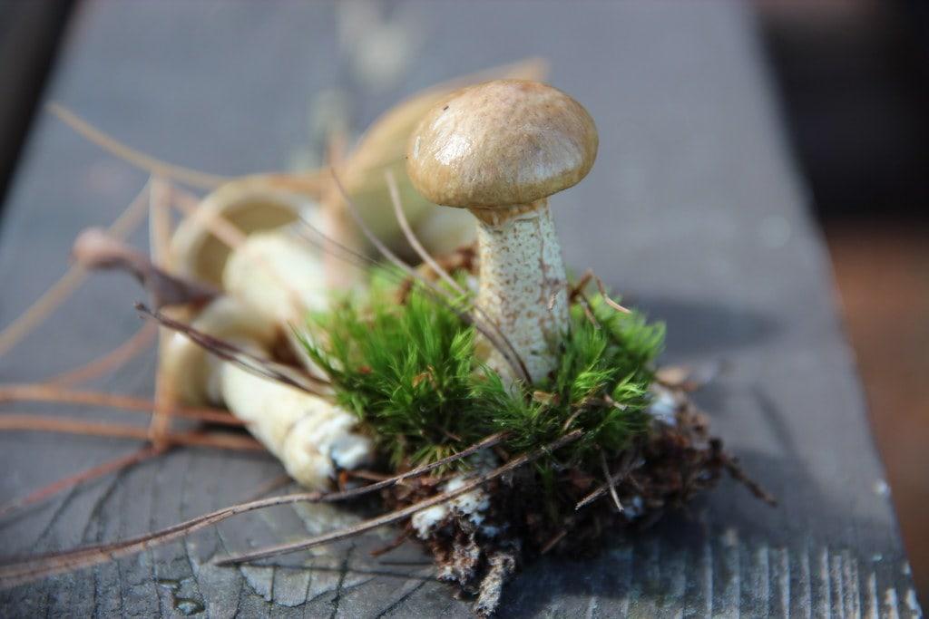 Slippery Jack mushrooms (Suillus luteus)