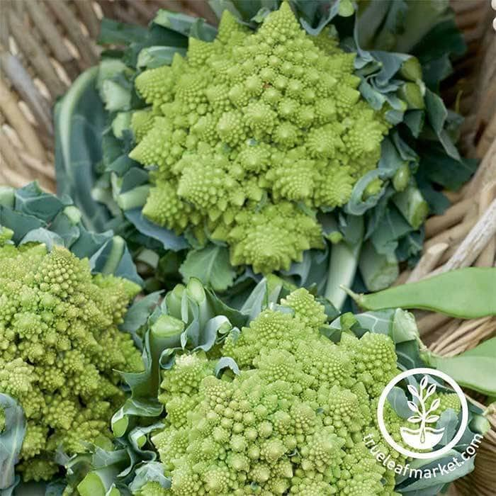 Veronica Romanesco Hybrid Cauliflower